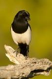 Общий magpie Стоковые Изображения