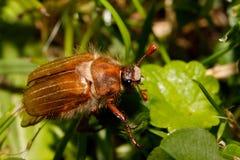 Общий melolontha Melolontha майского жука Стоковые Изображения RF