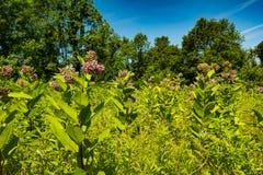 Общий Milkweed растя в Нью-Йорке Стоковая Фотография RF