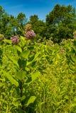 Общий Milkweed растя в Нью-Йорке Стоковое Изображение