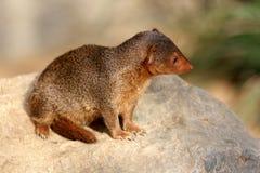 Общий mongoose карлика Стоковые Изображения