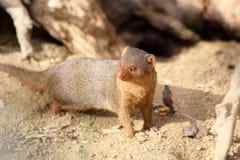 Общий mongoose карлика Стоковое Изображение