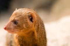 Общий mongoose карлика Стоковые Фото