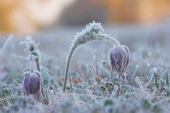 общий pulsatilla pasque цветка vulgaris Стоковое Изображение RF