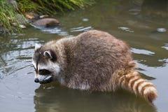Общий raccoon или lotor Procyon Стоковые Изображения