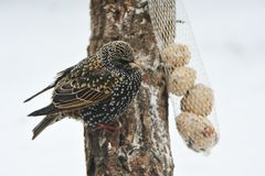Общий starling весной Стоковые Изображения