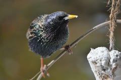 Общий starling весной Стоковое Фото