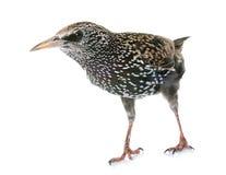 Общий starling в студии стоковое изображение