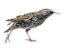 Общий starling в студии стоковые фото