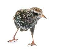 Общий starling в студии стоковое фото