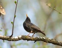 Общий starling на ветви стоковые фото