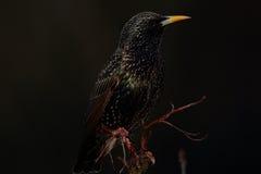 Общий starling. стоковые изображения rf