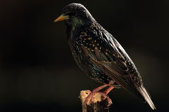 Общий starling. стоковая фотография rf