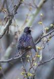 общий starling Стоковые Изображения RF