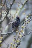 общий starling Стоковые Фото