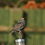 общий starling Стоковые Фотографии RF
