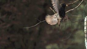 Общий Starling, Sturnus vulgaris, взрослый в полете, приземляясь на ринв, Нормандия, сток-видео
