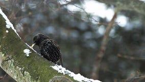 Общий Starling, Sturnus vulgaris, взрослый царапая свой клюв, Нормандия, сток-видео