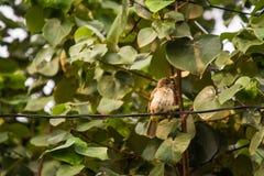 Общий Tailorbird на дереве стоковые фотографии rf