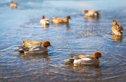Общий Teal или Teal eurasian (crecca Anas) Стоковая Фотография