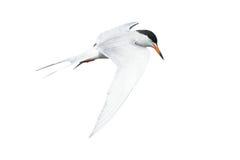 Общий Tern в полете Стоковая Фотография