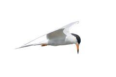 Общий Tern в полете Стоковая Фотография RF