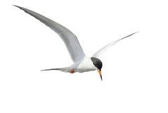 Общий Tern в полете Стоковые Изображения RF