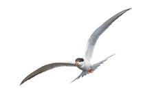 Общий Tern в полете Стоковые Изображения