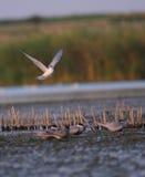общий tern грудин hirundo полета Стоковая Фотография