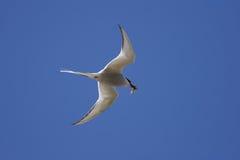 общий tern грудин hirundo Стоковое Фото