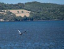 общий tern летания стоковая фотография