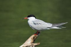 Общий Tern на журнале Стоковые Изображения RF