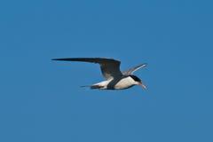 общий tern полета Стоковые Изображения