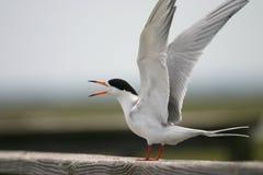 общий tern Стоковое Изображение