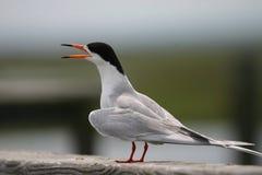 общий tern Стоковые Фото