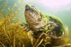 Общий Underwater щелкая черепахи в озере стоковые фотографии rf
