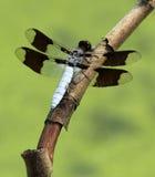 общий whitetail dragonfly стоковое фото rf