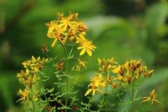 Общий wort ` s St. John, wort ` s St. John, желтый wildflower, целебная трава, в цветени стоковое фото