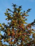 общий yew Стоковое фото RF