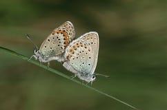 2 общих бабочки конского каштана сопрягая взгляд со стороны Стоковое фото RF