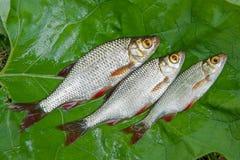 3 общих рыбы rudd на естественной предпосылке Стоковое фото RF