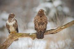 2 buzzards на старом дереве Стоковое Изображение RF
