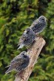 Общий Starling Стоковая Фотография RF