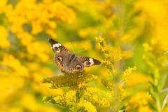 Общяя бабочка конского каштана Стоковое фото RF