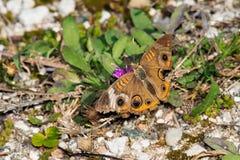 Общяя бабочка конского каштана Стоковое Фото