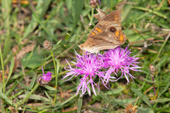 Общяя бабочка конского каштана Стоковые Изображения