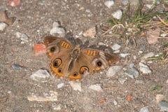 Общяя бабочка конского каштана Стоковые Фотографии RF