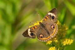 Общяя бабочка конского каштана Стоковые Изображения RF