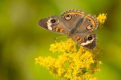 Общяя бабочка конского каштана Стоковое Изображение