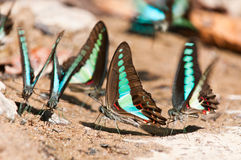 Общяя бабочка bluebottle Стоковое Изображение RF
